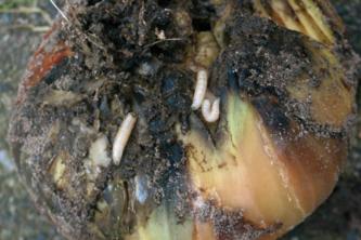 ECOSTYLE Aaltjes tegen larven uienvlieg FC 10 miljoen/60 m2